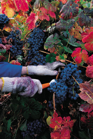 Vineyard harvesting grapes