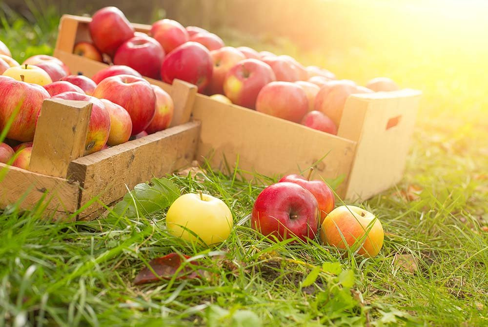 crates of apples in the orchard