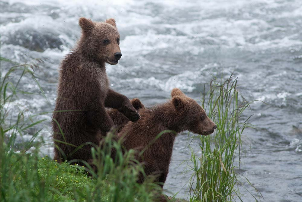 Bears fishing next to a river