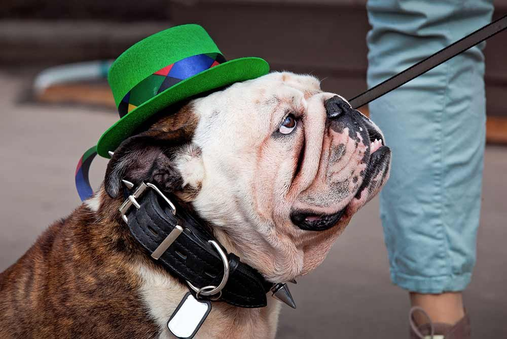 bulldog on leash wearing green hat in parade