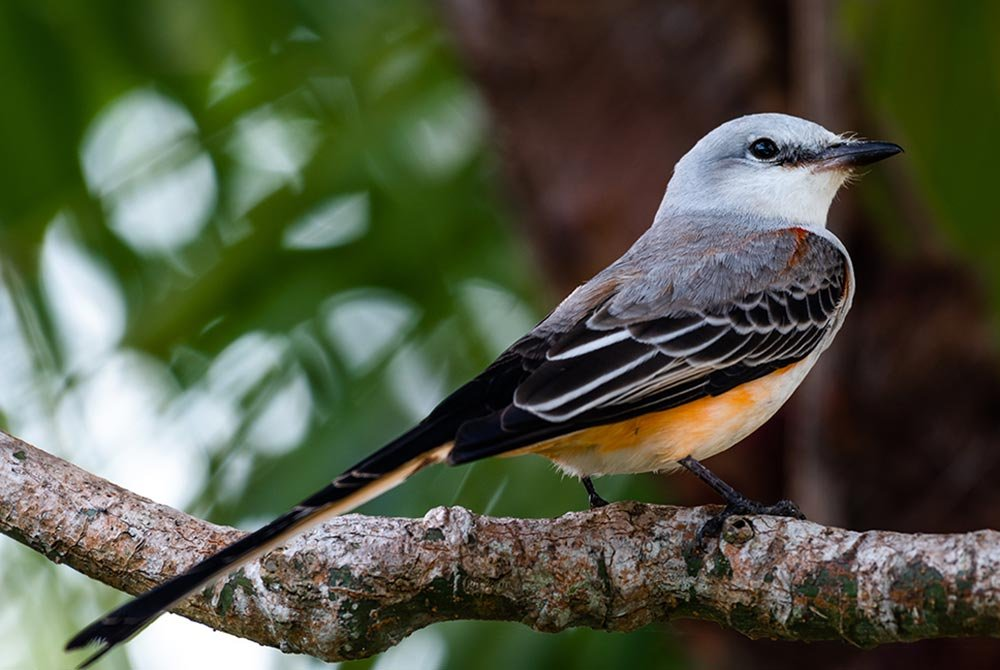 scissor-tailed flycatcher bird on branch
