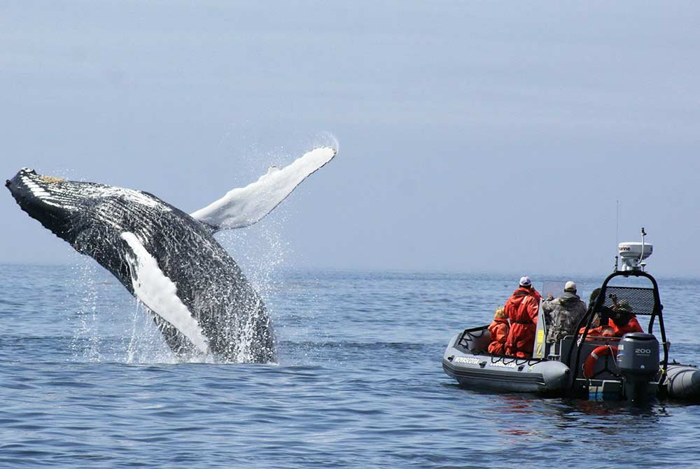Whale jumping out of water next to people in a Zodiack