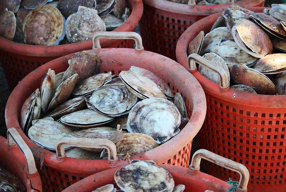 Buckets filled with clams