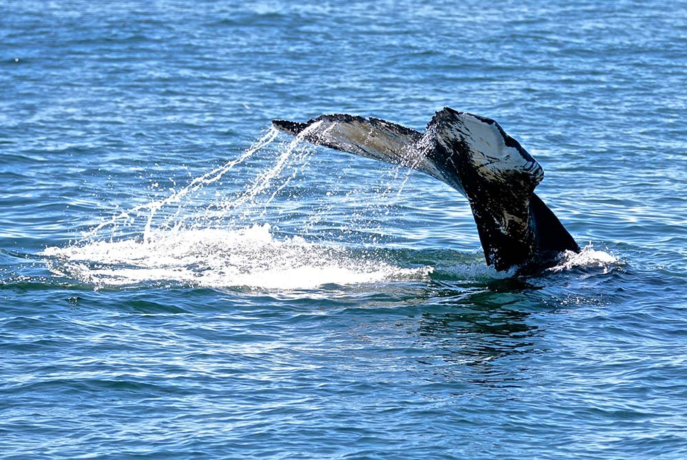 Whale tail splashing out of water