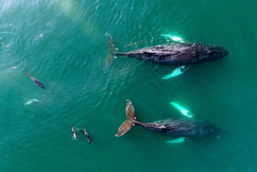 Whales and dolphins viewed from above