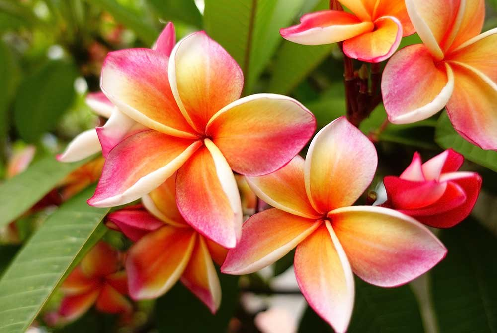 tropical flowers in hawaii