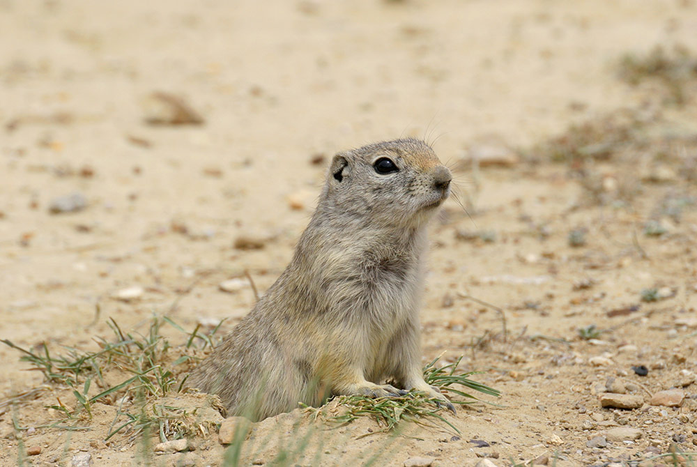 groundhog coming out of the ground