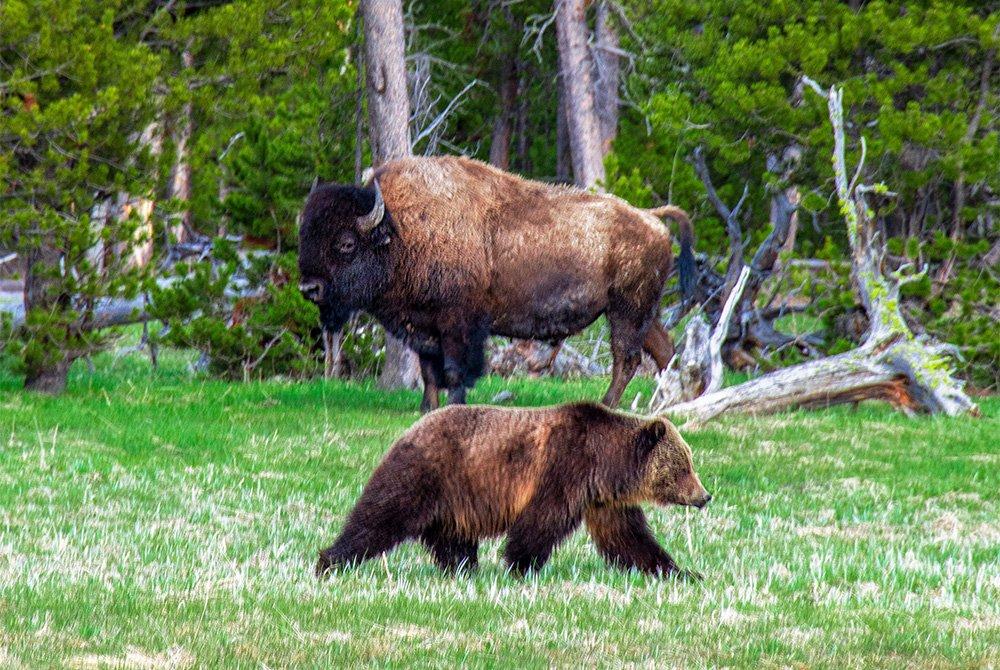 buffalo and bear