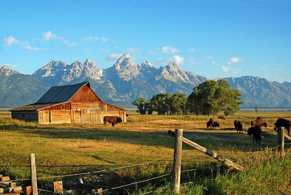 buffalo in front of a cabin in grand teton national park
