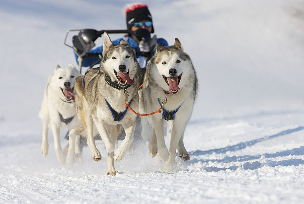 Dogs running with dog sled and rider