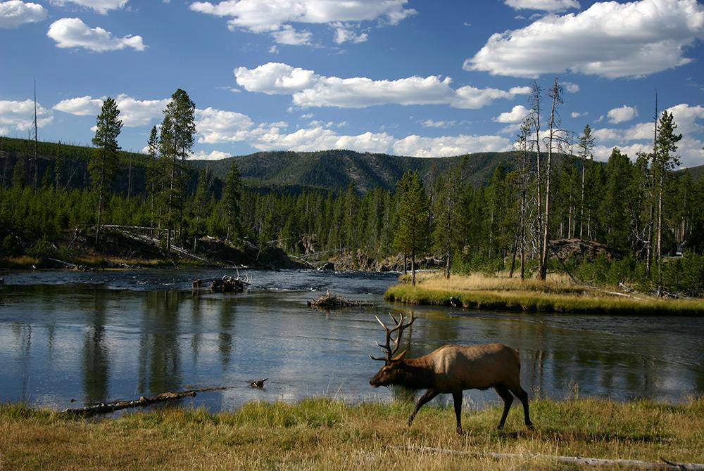 Elk walking next to river