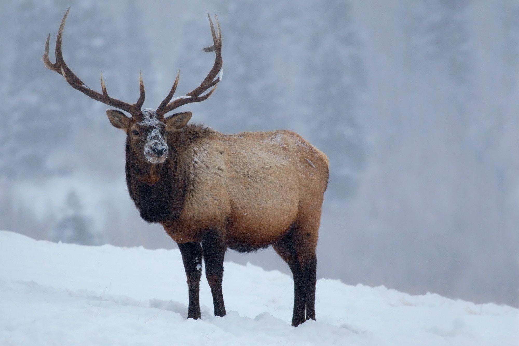 Elk standing in snow