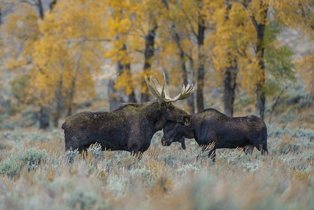 two moose in the wild