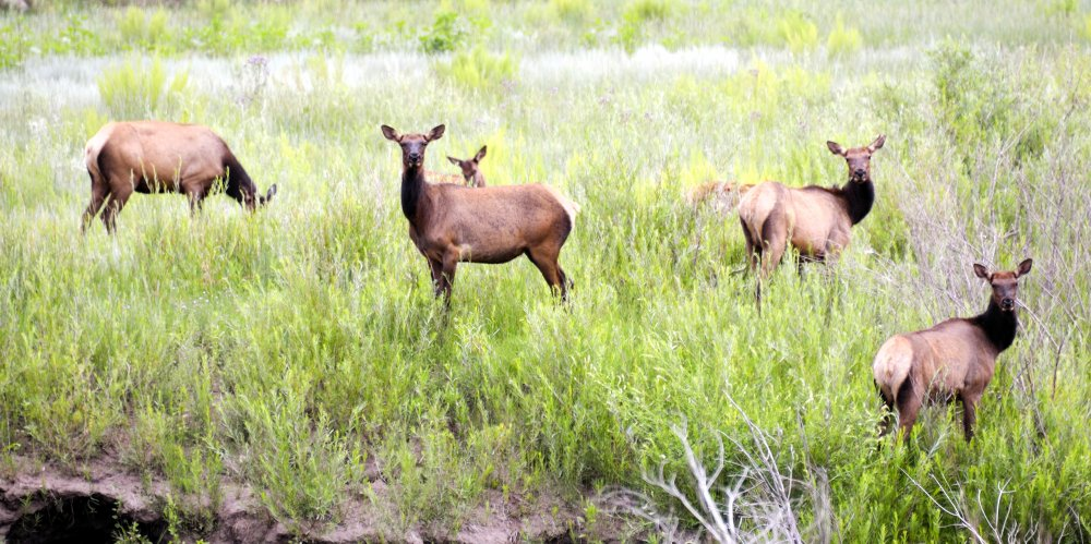 Elk heard near the Royal Gorge