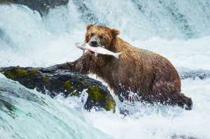 Bears catching fish from stream