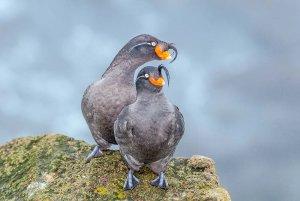 Alaskan birds on rock