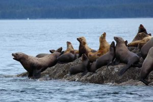 Seals on rock in water