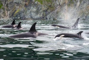 Orcas swimming in a pod in the ocean
