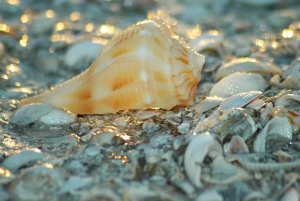 Conch in pile of seashells