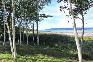 Birch trees infront of bushes along coast