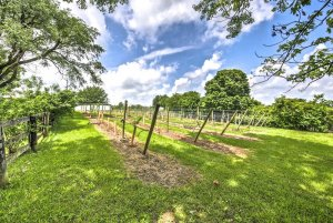 Trees and Vineyard rows