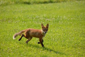 Black Walnut Point Inn fox running through grass