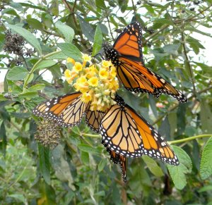 Black Walnut Point Inn monarch butterflies