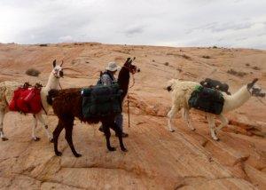 A man with three pack llamas