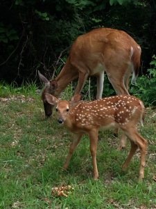 Bass and Baskets spotted fawn with its mother