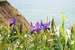 purple seaside flowers