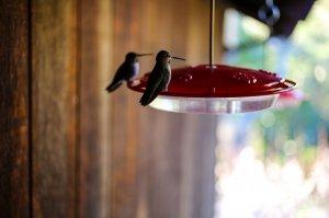 two hummingbirds feeding