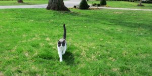 A cat walking across a lawn