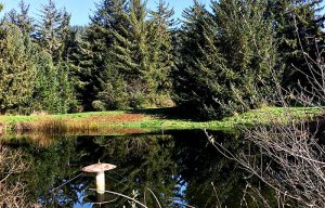 A pond reflecting spruce trees