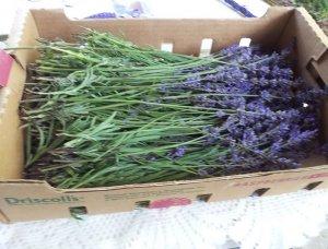 Sprigs of lavender