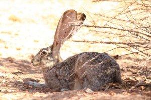 resident jack rabbit