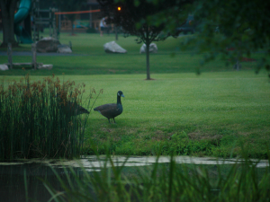 Duck at pond's edge
