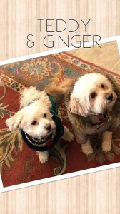 Small dogs named Teddy and Ginger