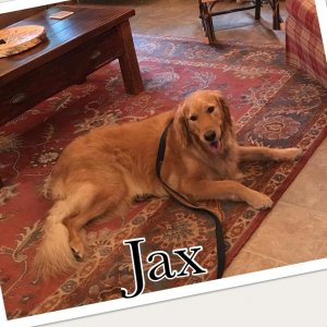 Jax the dog lying near a coffee table