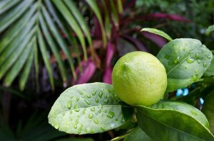 citrus fruit growing on a tree