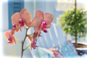 peach-colored orchids