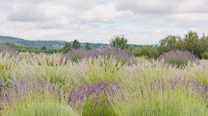 Roya Vineyard and Cottages purple flowers