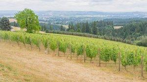 Roya Vineyard and Cottages grape vines