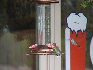 Humming birds feeding