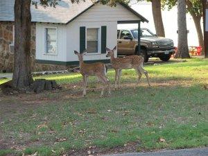 2 Whitetale deer