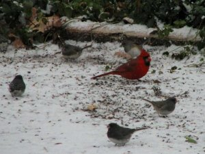 Red cardnal with other birds