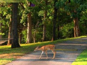 Whitetail Deer crossing the street