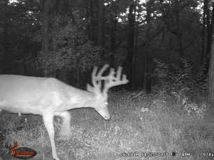 8-27-2019 Trail Cam Image of piebald white tail Deer