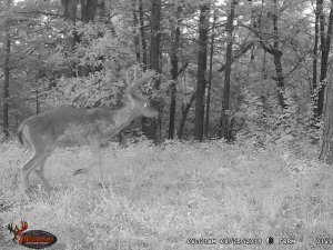 8-25-2019 Trail Cam Image of piebald Deer