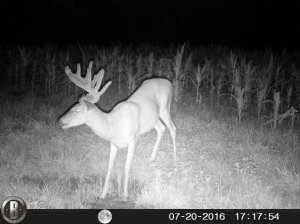 7-20-2016 Trail Cam Image of Deer Turned to Side