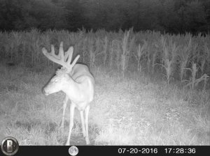 7-20-2016 Trail Cam Image of Deer Standing Straight